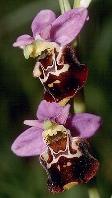 Hummel-Ragwurz (Ophrys holoserica)