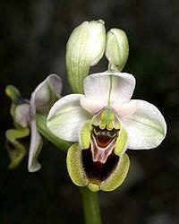 Ophrys tenthredinifera Mallorca 01.jpg