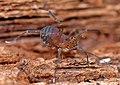 Opiliones, Laniatores, F. Phalangodidae, Crosbyella sp. (3679661385).jpg