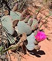 Opuntia basilaris (Beavertail Cactus) in Red Rock Canyon - 02.jpg