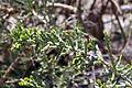 Opuntia cylindrica Jardín botánico de Valencia (2).JPG