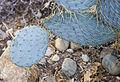 Opuntia polyacantha, Conservatorio botánico, Fort Wayne, Indiana, Estados Unidos, 2012-11-12, DD 01.jpg