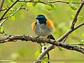 Orange-flanked Bush Robin (Tarsiger cyanurus) (17476599444).jpg