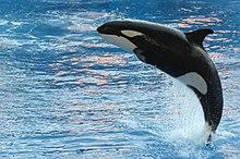 Orca in cattività durante uno spettacolo presso Orlando Seaworld, Orlando, Florida
