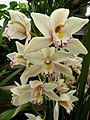 Orchid From The Tropics (188074753).jpeg