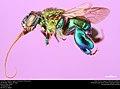 Orchid bee (Apidae, Euglossa championi (Cheesman)) (36112353184).jpg