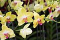 Orchids in yellow (27342516613).jpg