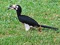 Oriental Pied Hornbill (8050978780).jpg