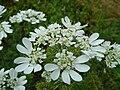 Orlaya grandiflora 153.JPG