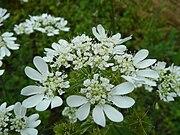 Orlaya grandiflora 153