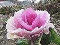 Ornamental cabbage.jpg