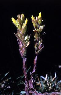 Orthocarpusluteus