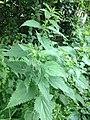 Ortiga Urtica dioica 2.jpg