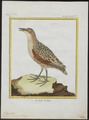 Ortygometra crex - 1700-1880 - Print - Iconographia Zoologica - Special Collections University of Amsterdam - UBA01 IZ17500077.tif