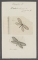 Osmylus - Print - Iconographia Zoologica - Special Collections University of Amsterdam - UBAINV0274 064 01 0042.tif