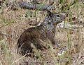 Otospermophilus beecheyi (California ground squirrel) - Flickr - S. Rae (1).jpg