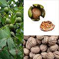 Owoce Orzech włoski.jpg