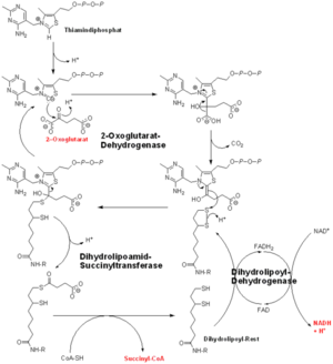 Oxoglutarate dehydrogenase complex - Oxoglutarate dehydrogenase (α-Ketoglutarate dehydrogenase)