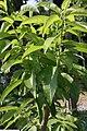Oxydendrum arboreum 10zz.jpg