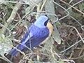 Pássaro azul-amarelo.jpg