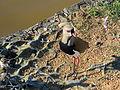 Pássaros em Porto Alegre 010.JPG
