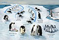 PENGUIN LIFECYCLE H.JPG