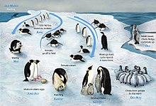 Emperor penguin - Wikipedia