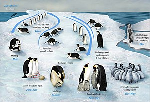 Emperor Penguin life-cycle