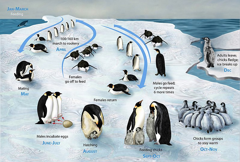 Lifecycle of a penguin