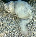 PERSIAN CATS FOUND IN JUBAIL DESERT - panoramio.jpg