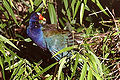 PURPLE GALLINULE PREENING.jpg