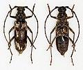 Pachydissus camerunicus (16487539064).jpg