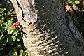 Pachypodium lamerei lamerei 3zz.jpg