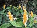 Pachystachys lutea - Botanischer Garten München-Nymphenburg - DSC08077.JPG