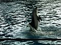 Pacific white-sided dolphin.jpg