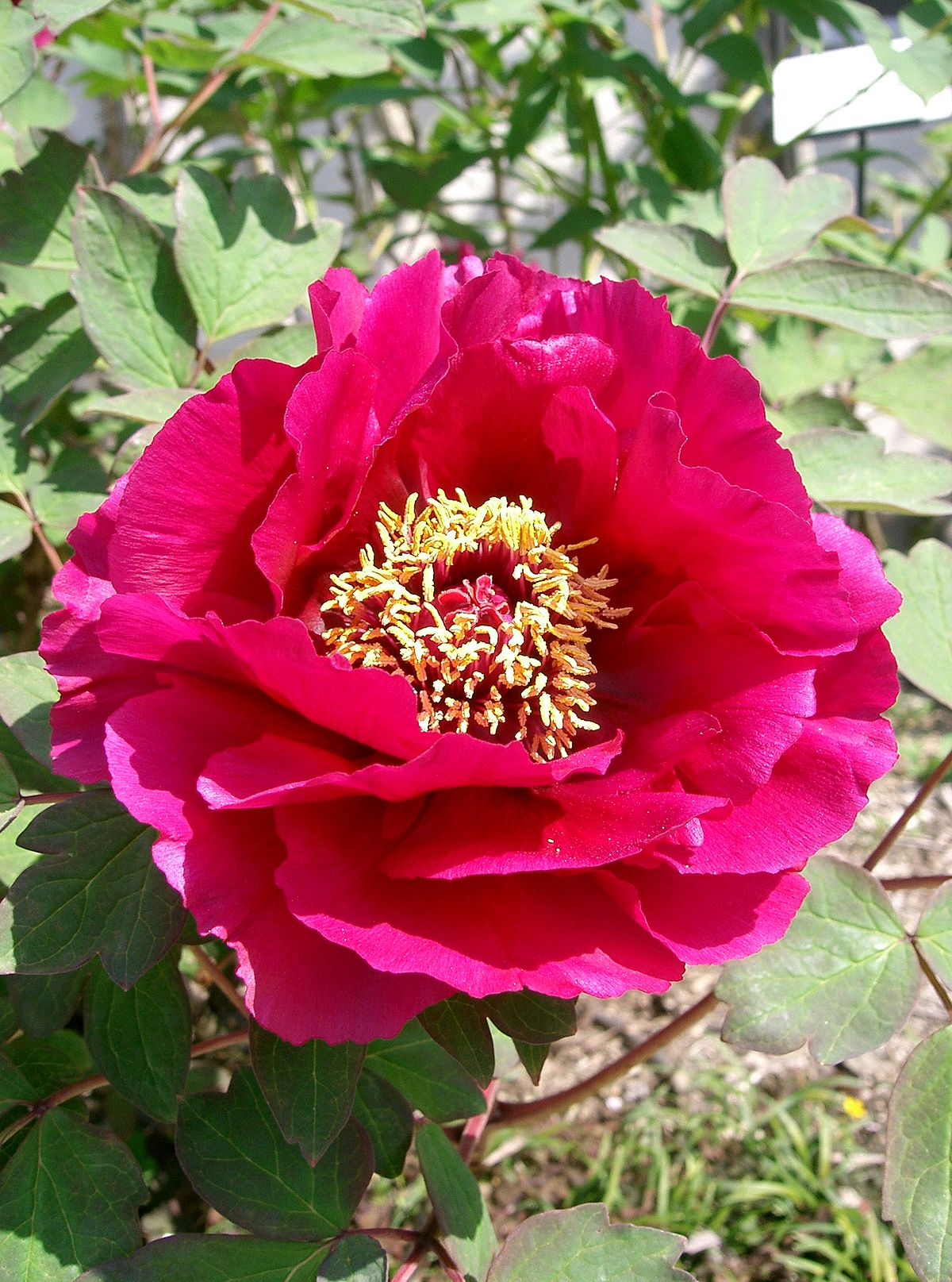 paeonia suffruticosa hybrid group