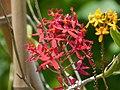 Pajaritos (Epidendrum ibaguense) - Flickr - Alejandro Bayer.jpg