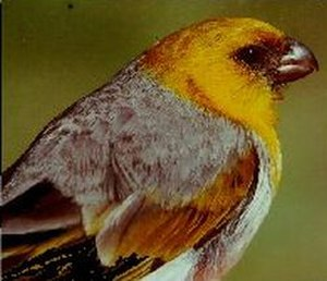Island ecology - The palila, one of several endangered honeycreepers that evolved through adaptive radiation and are endemic to the Hawaiian Islands.