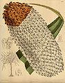 Pandanus furcatus 142-8671.jpg