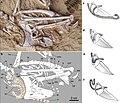 Panraogallus tracheal loop.jpg