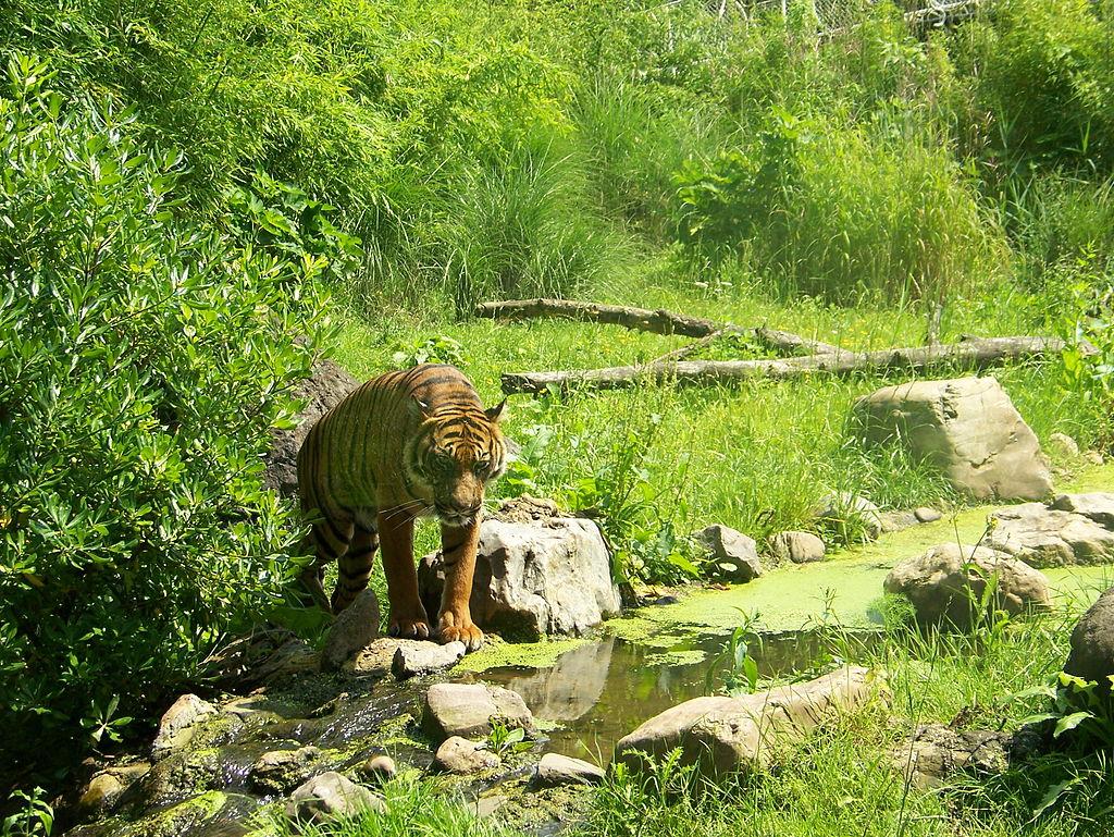 Panthera tigris sumatrae2.jpg