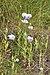 Papaver setigerum, Sainte-Lucie Island, Aude 01.jpg