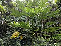 Papaya tree with no ripe fruits.jpg