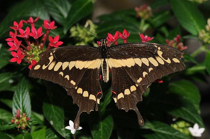 Papilio cresphontes 1.jpg
