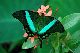 Sưu tập Bộ cánh vẩy 2 - Page 67 320px-Papilio_palinurus%28gwz%29