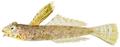 Paradiplogrammus bairdi - pone.0010676.g162.png