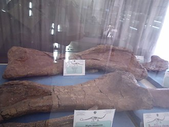 Paralititan - Humeri at the Egyptian Geological Museum