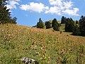 Paririe à gentianes jaunes au pied du Mont Pravouta.jpg