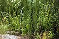 Parmi d'autres végétaux de lieux humides, des prêles.JPG