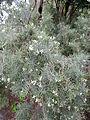 Parolinia glabriuscula kz1.JPG